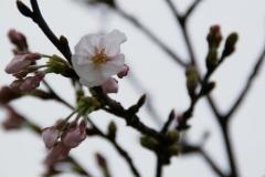 梅小路の桜①
