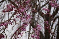梅小路の桜②